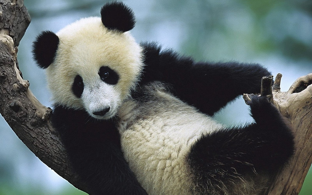 Saving The Pandas: One Association At A Time